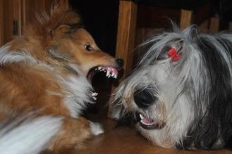 Aggresjon mot hunder av samme kjønn