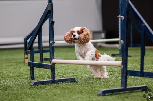 Valp til agilityhund del 1, 2 og 3 (Kurspakke)